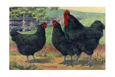 The Jersey Black Giants Lay Large Brown Eggs by Hashime Murayama