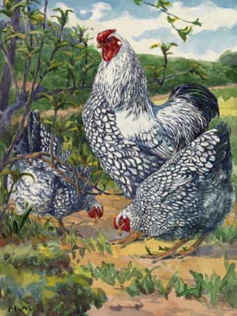 Three Silver-Laced Wyandottes Peck the Earth by Hashime Murayama