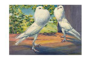 Two Pouter Pigeons Stand with Inflated Crops by Hashime Murayama