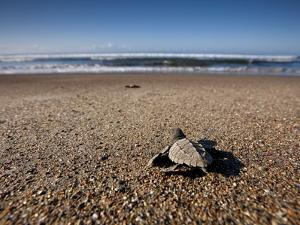 Hatchling Sea Turtle Heads to the Ocean