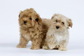 Affordable Havanese Posters for sale at AllPosters com