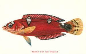 Hawaiian Fish Julis Greenovii