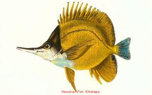 Hawaiian Fish, Kikakapu