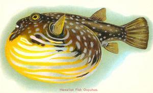 Hawaiian Fish, Oopuhue