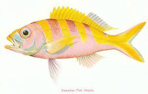 Hawaiian Fish, Ulaula