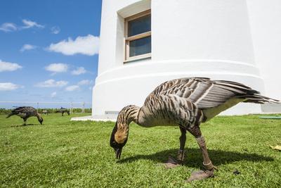 https://imgc.allpostersimages.com/img/posters/hawaiian-goose-nene-branta-sandvicensis_u-L-PWFH4P0.jpg?p=0
