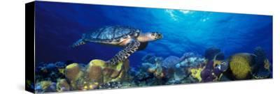 Hawksbill Turtle and French Angelfish with Stoplight Parrotfish