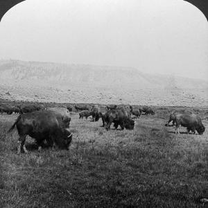 Buffalo, Yellowstone National Park, Usa by HC White