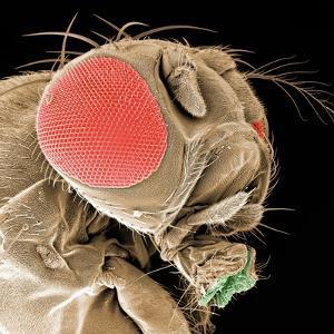 Head of a Fruit Fly