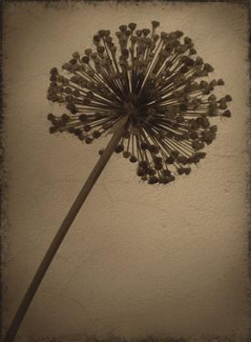 Allium I by Heather Jacks