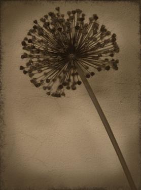 Allium II by Heather Jacks