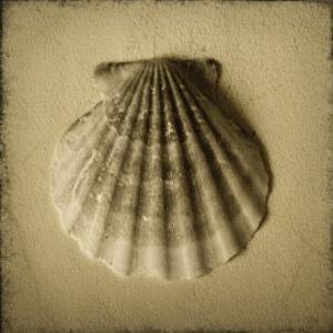 Seashell Study I by Heather Jacks