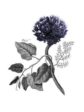 Allium Botanical by Heather Johnston