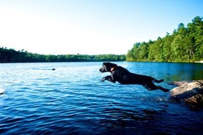 A Black Labrador Retriever Dog Leaps from a Rock into a Lake by Heather Perry