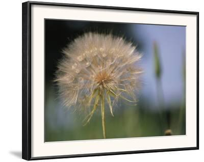A Close View of a Dandelion Seed Head by Heather Perry