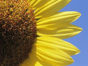 A Close View of a Sunflower by Heather Perry