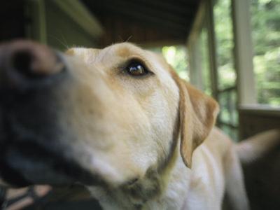 A Close View of a Yellow Labrador Retriever by Heather Perry