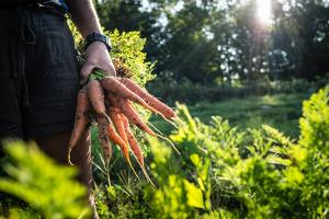 A farmer holds a handful of carrots she has just pulled from her crop. by Heather Perry