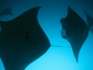 A Group of Silhouetted Manta Rays Swimming Gracefully by Heather Perry