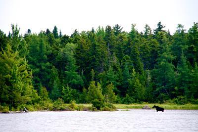 A Moose, Alces Alces, Wading in a Pristine Lake Bordered by and Evergreen Forest by Heather Perry