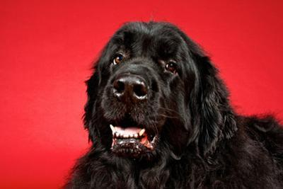 A Newfoundland Dog Looks at the Camera by Heather Perry