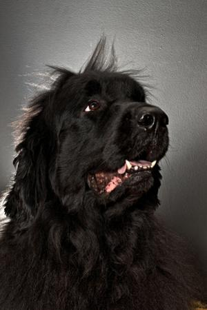A Newfoundland Dog Looks Away from the Camera by Heather Perry