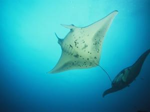 A Pair of Manta Rays in the Waters off the Yap Islands by Heather Perry