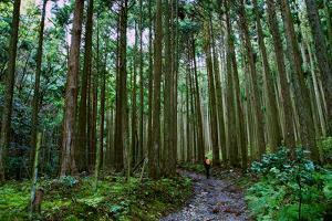 A Person Walks a Path in a Cedar Grove Near Jakkou-In Temple by Heather Perry