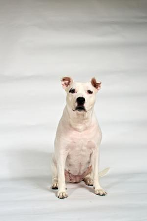 A White Pit Bull Mix Dog Looks at the Camera by Heather Perry