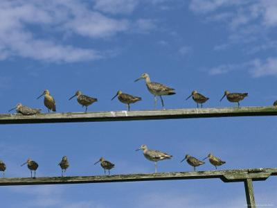 An Assortment of Shorebirds Perch on a Pair of Railings by Heather Perry