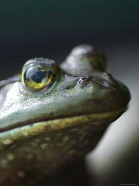 Bullfrog Sits on a Dock by Heather Perry