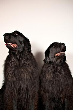 Two Big Dogs Look Away from One Another by Heather Perry