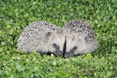 Hedgehog 2 Young Animals on Garden Lawn