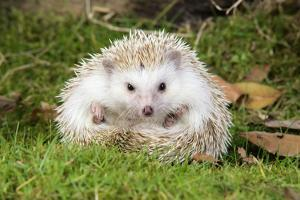 Hedgehog Blonde