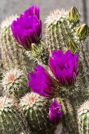 https://imgc.allpostersimages.com/img/posters/hedgehog-cactus-arizona-sonora-desert-museum-tucson-arizona-usa_u-L-PXR7NI0.jpg?artPerspective=n
