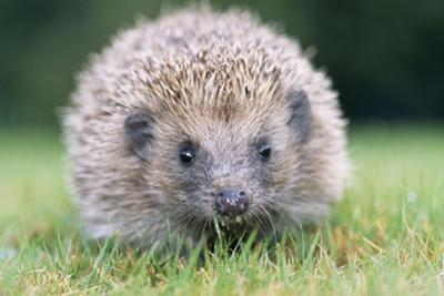 Hedgehog Close-Up from Front