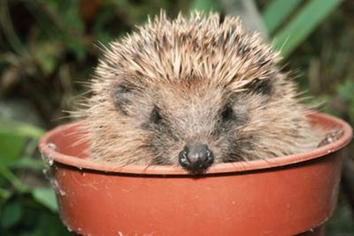 Hedgehog Close-Up in Flower Pot
