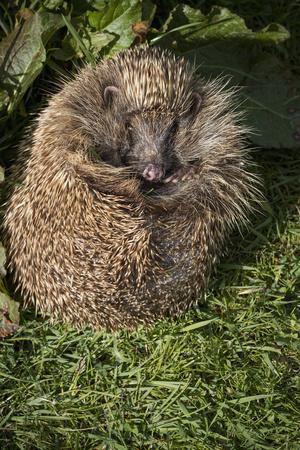 https://imgc.allpostersimages.com/img/posters/hedgehog-erinaceinae-devon-england-united-kingdom_u-L-PWFLB80.jpg?p=0