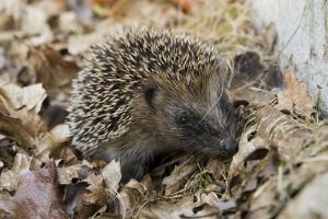 Hedgehog (Erinaceus Europaeus) in Leaf Litter, Holtsfield Garden, Murton, Gower, S.Wales, Uk