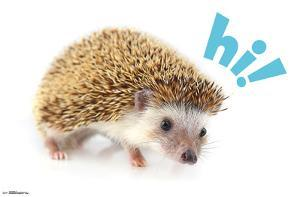 HEDGEHOG - HI