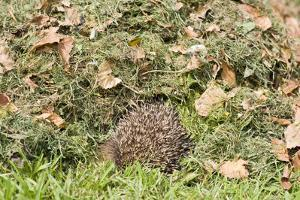 Hedgehog Juvenile Burrowing into Pile of Garden