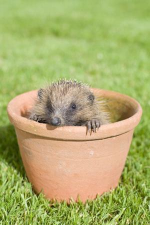 Hedgehog Juvenile in Flower Pot