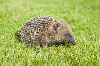 Hedgehog Juvenile on Garden Lawn in Daylight