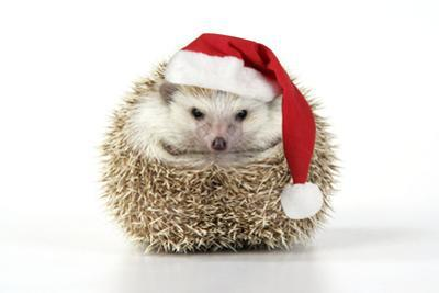 Hedgehog Wearing Christmas Hat