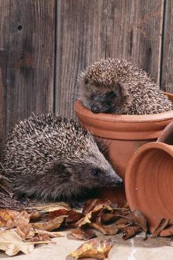 Hedgehogs in and Near Flowerpots