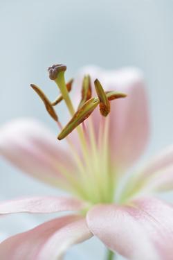 8534_Soft Lily by Heidi Westum