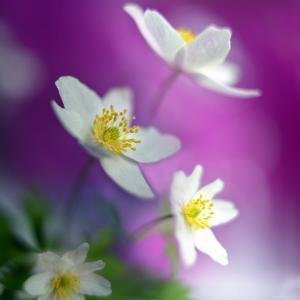 Anemones by Heidi Westum