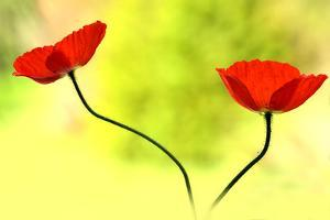 Poppy Friends by Heidi Westum