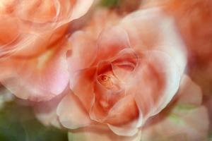 roses by Heidi Westum