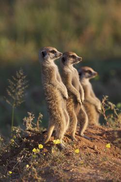 Three Suricates Looking into the Distance by Heinrich van den Berg
